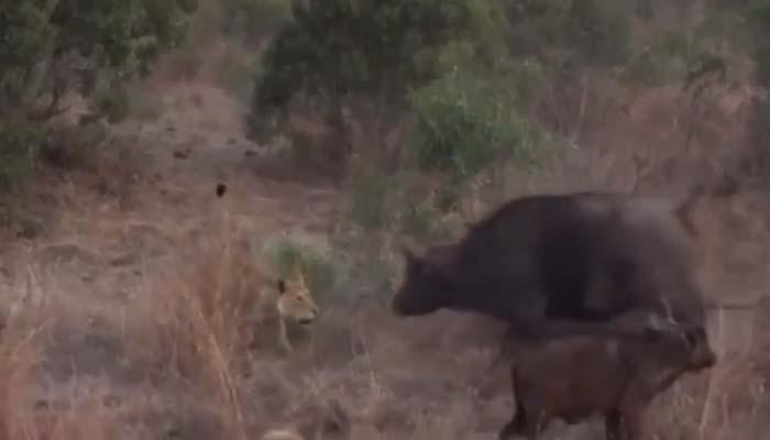 ....जब बच्चे को बचाने के लिए 3 शेरों से भिड़ गया भैंस, देखें रोचक वीडियो