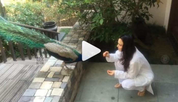 ...मोर को दाना खिलाते हुए प्रीति जिंटा का खूबसूरत वीडियो
