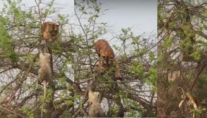 एक पेड़ पर Monkey और Tiger: देखिए कैसे बंदर ने बुद्धिमानी से खुद को शिकार होने से बचाया, वायरल VIDEO