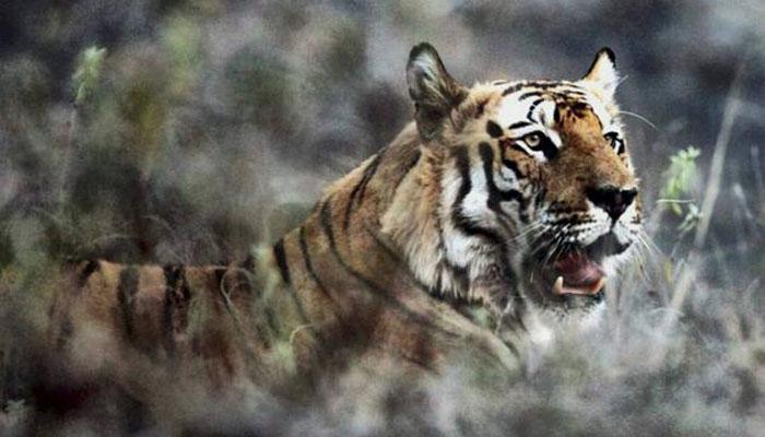 देश भर में बाघों की संख्या में करीब 30 फीसदी की बढ़ोतरी