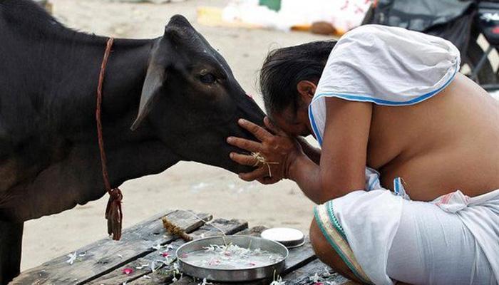 राजस्थान हाई कोर्ट की सिफ़ारिश, गाय को राष्ट्रीय पशु घोषित किया जाए ; जज ने फ़ैसले को बताया 'आत्मा की आवाज़'