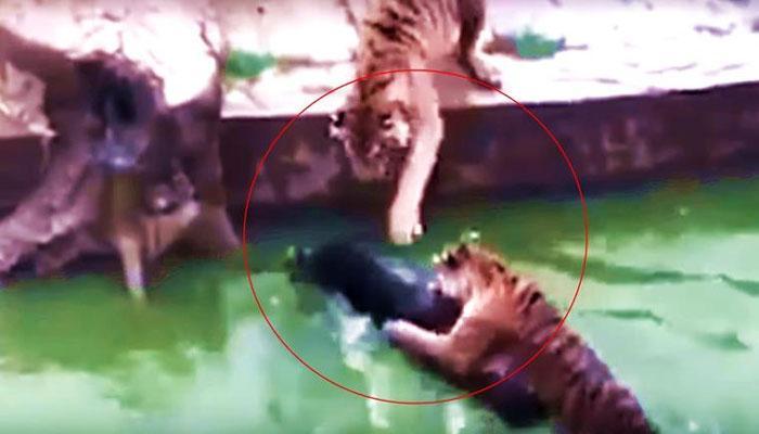 VIDEO : जिंदा गधे को चार भूखे बाघों के सामने फेंका, ऐसे हुआ शिकार देखने वाले भी रह गए हैरान