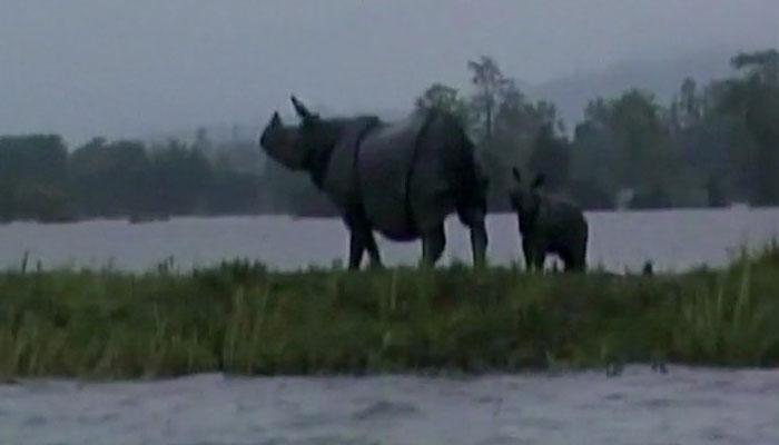 VIDEO, काजीरंगा नेशनल पार्क के 50% हिस्से में पानी, जानवरों में अफरा-तफरी