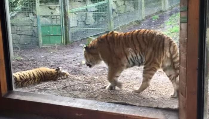 VIDEO :  सोती हुई बाघिन को छेड़ना बाघ को पड़ा भारी
