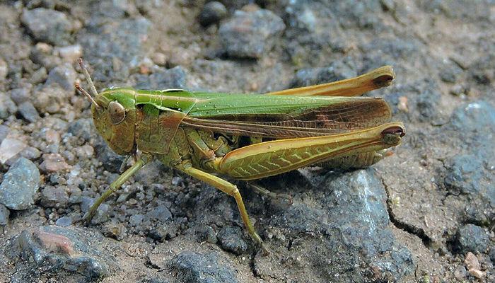 10 करोड़ साल पुराने टिड्डे की प्रजाति का नाम सर डेविड एटनबरो के नाम पर रखा गया