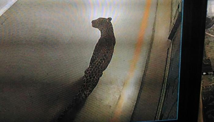 गुरुग्राम के मानेसर स्थित मारुति के प्लांट में घुसा तेंदुआ, तलाश जारी