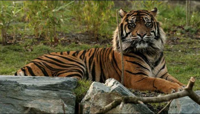 मध्यप्रदेश में 2017 में अब तक हुई 17 बाघों की मौत : एनटीसीए