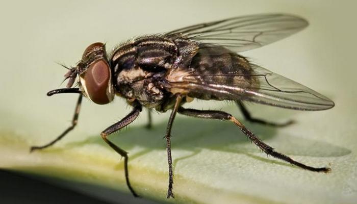 वॉशिंगटन: बीमारियों की दावत लिए घरों में घूमती है घरेलू मक्खियां