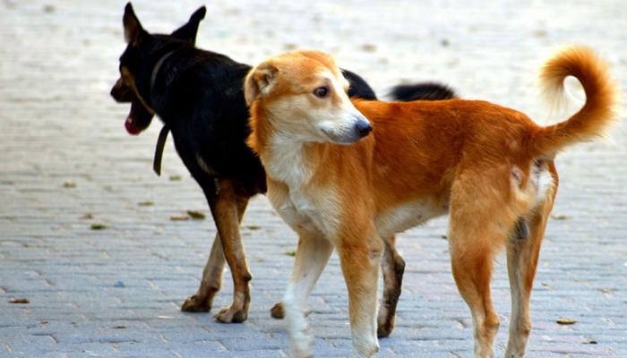 मिजोरम : एक साल में आवारा कुत्तों ने 3400 लोगों को काटा...