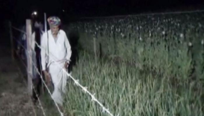 जान हथेली पर रख यहां के किसान खेतों में उगाते हैं 'काला सोना', दिन-रात करते हैं रखवाली