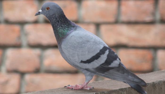 INDIA TODAY: Odisha Police sending massages through pigeon