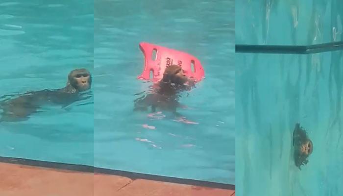 बंदर को लगी गर्मी तो आव देखा न ताव, सीधे स्विमिंग पूल में लगाई छलांग