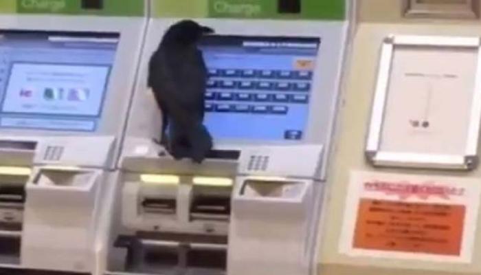 VIDEO: कौवे ने छीना महिला से क्रेडिट कार्ड, मशीन से टिकट निकालने की कोशिश और फिर...