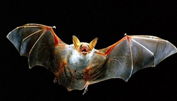 Ways & measures to escape bats from your home | चमगादड़ से है बड़ा खतरा! घर  के आसपास भी दिखे तो ये हैं भगाने के उपाए