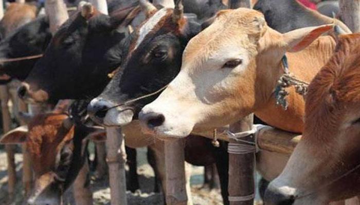 इस मुस्लिम मुल्क को गायों ने 'खुद्दार' बनाया, डूबने से बचाया