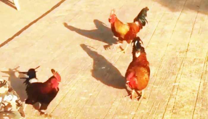 VIDEO : जब मुर्गे का दिल आया मुर्गी पर, धर्मेंद्र बोले- इश्क पे जोर नहीं