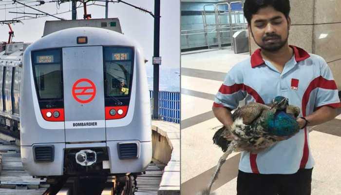 दिल्ली : मोर की जान बचाने के लिए 33 मिनट रुकी रही मेट्रो ट्रेन