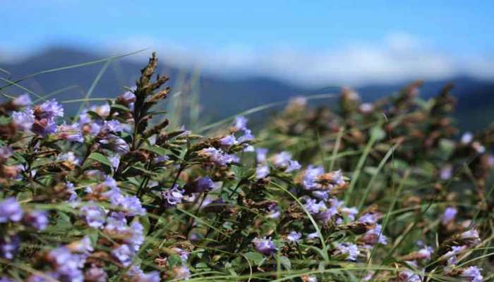 This is the best time to visit Kerala, neelakurinji blossom flowers on Mountains