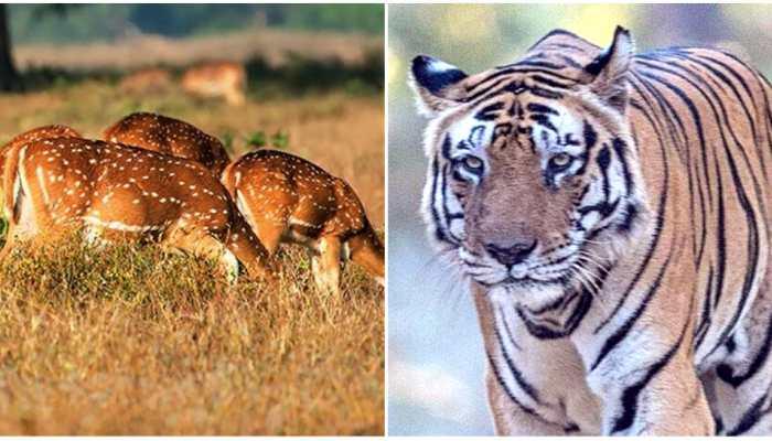मप्र: कान्हा नेशनल पार्क की वाइल्ड लाइफ है रोचक, मशहूर है ये ट्रैवल डेस्टिनेशन