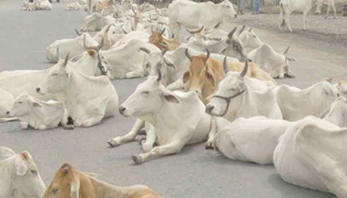 मध्य प्रदेश: कामधेनु अभयारण्य प्रोजेक्ट की खुली पोल, 4000 गाय लेने के बाद सरकार ने खड़े किए हाथ