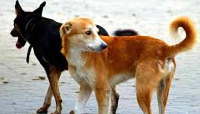 सीतापुर के बाद मुरादाबाद में आवारा कुत्तों का खौफ, 24 घंटे में 75 लोगों को बनाया शिकार