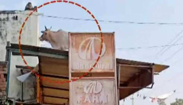 bull climbs up on factory terrace in Chandausi