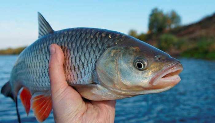 बांग्लादेशी निर्यातकों ने त्रिपुरा में मछली की आपूर्ति बहाल की