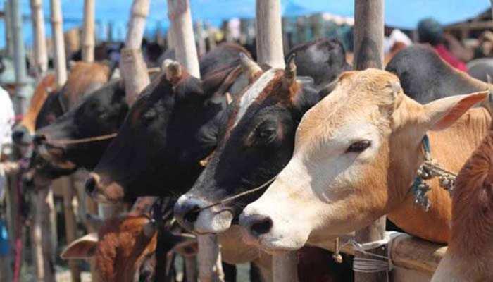 देश में पहली बार गौशाला में हुआ गायों के मोतियाबिंद का ऑपरेशन