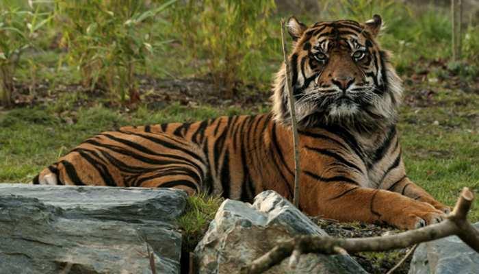 बाघों की गणना के मामले में डाटा एंट्री की गड़बड़ियों को ठीक करे मध्य प्रदेशः एनटीसीए