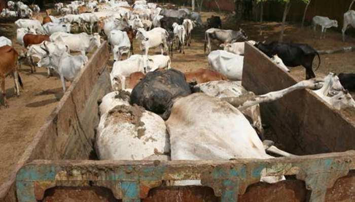 मध्य प्रदेशः तेंदूखेड़ा में 13 गायों की मौत, स्थानीय लोगों में रोष