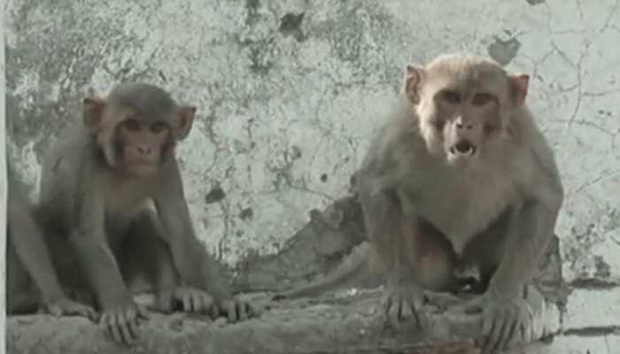 यूपी में बंदरों का आतंक, बलरामपुर में सास-बहू पर किया हमला, एक की मौत