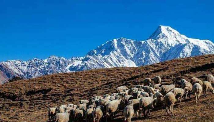 Australian Merino change destiny of Uttarakhand people