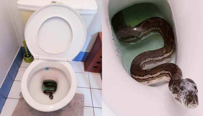 Viral Photo: फ्रेश होने के लिए बाथरूम में पहुंचा शख्स, अजगर देख निकल पड़ी चीखें