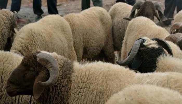 आवारा कुत्तों ने किया हमला, बाड़ें में मची भगदड़, दम घुटने से 100 भेड़ों की गई जान