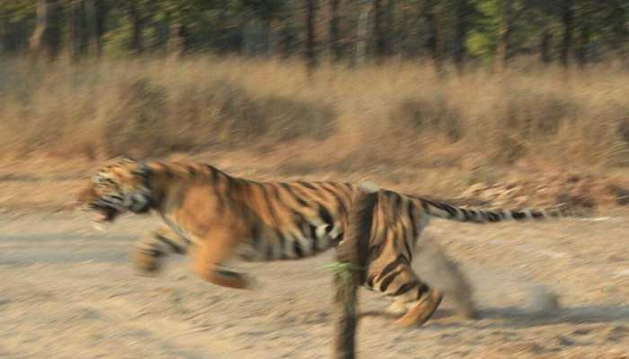PHOTOS: Tigers left in Satpura Tiger Reserve