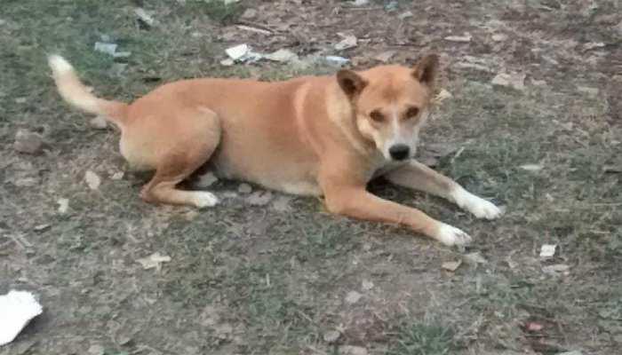 असम और त्रिपुरा में कम होने लगे कुत्ते, पड़ोसी राज्यों में 5000 रुपए में बिक रहा एक कुत्ता