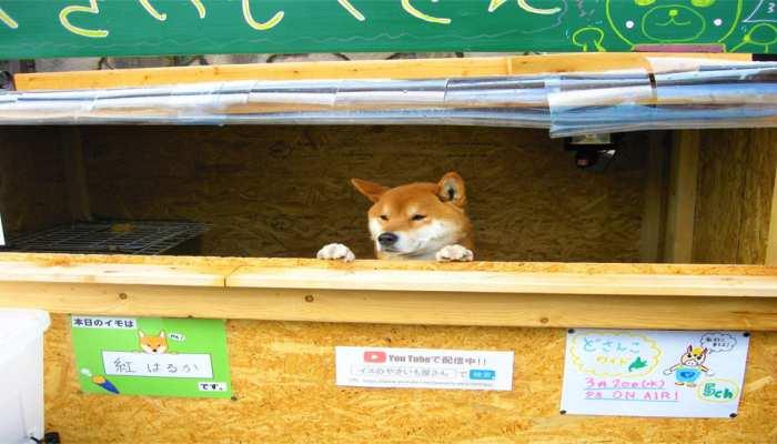 VIDEO: दुकान का मालिक है यह कुत्ता, अनोखे स्टाइल में सामान बेचकर कमाता है पैसे