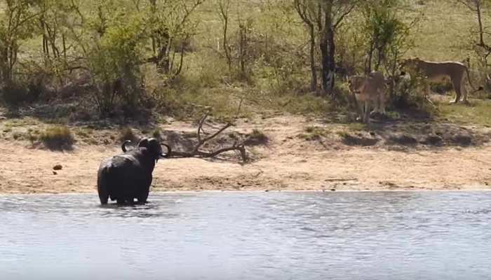 VIDEO: शेरों के झुंड में घिर गया जंगली भैंसा, नदी में उतरा तो मगरमच्छ ने किया वार...फिर