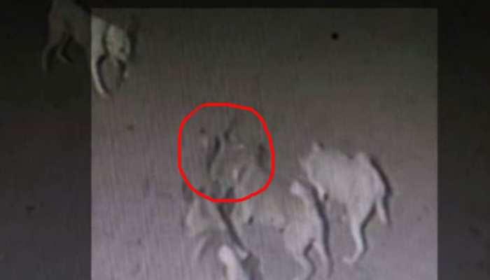 VIDEO: मालिक को बचाने के लिए कोबरा से घंटों लड़ते रहे चार पालतू कुत्ते, गंवाई जान