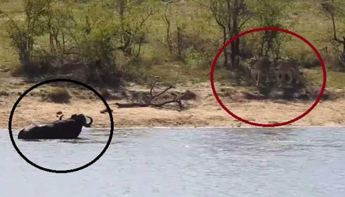 भैंस ने पहले पानी में मगरमच्छ को लताड़ा, फिर शेर को किया चारों खाने चित, देखें VIDEO