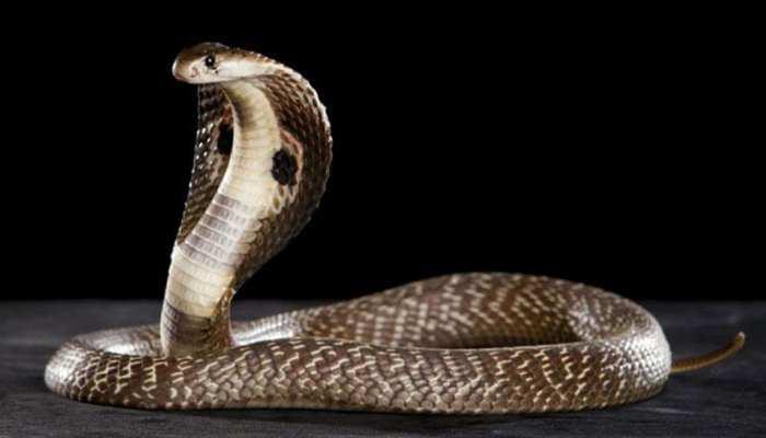 मालिक को बचाने के लिए 5 फीट लंबे कोबरा से भिड़ा कुत्ता, लड़ते-लड़ते दे दी जान
