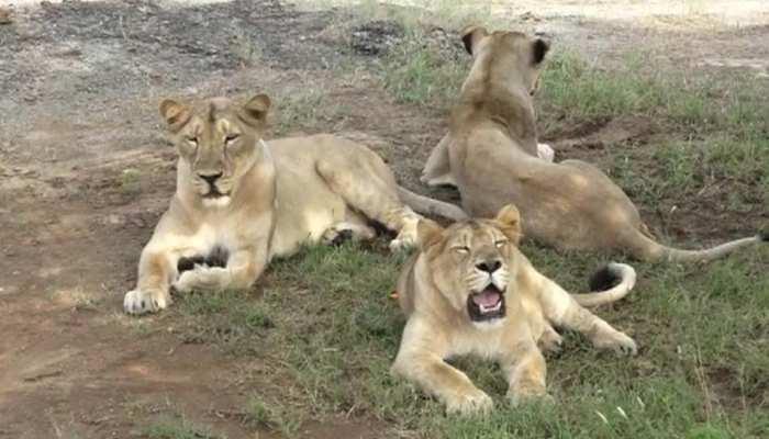 अब गोरखपुर में दहाड़ेंगे गुजरात के शेर, जूनागढ़ से जल्द किए जाएंगे शिफ्ट