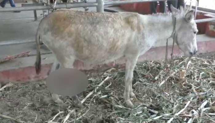 मेनका गांधी का पशु प्रेम आया सामने, सुल्तानपुर से घायल गधे को इलाज के लिए भेजा बरेली