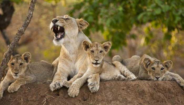 गुजरात: शेरनी ने दिया 5 शावकों को जन्म, राज्य में लगातार बढ़ रही शेरों की संख्या