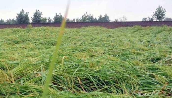 राजस्थान में मानसून से पहले बारिश ने तोड़ी किसानों की कमर, फसल हुई खराब