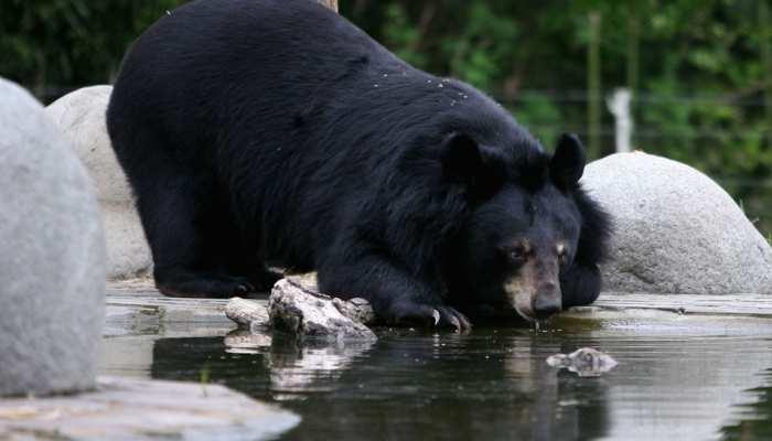 Black bear seen in badrinath is giving major entertainment