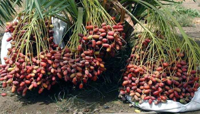 जोधपुर का रेगिस्तान बना अरब के खजूरों का खजाना, हर साल सैंकड़ो टन का उत्पादन