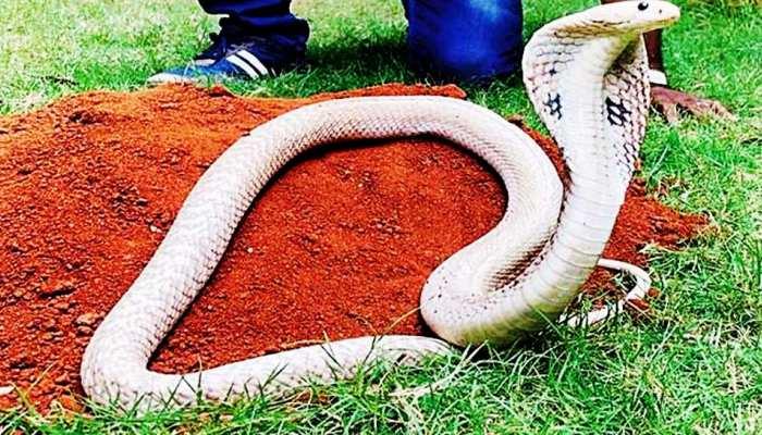 VIDEO: बेंगलुरु में पकड़ा दुर्लभ व्हाइट कोबरा, देखकर हैरत में पड़े लोग