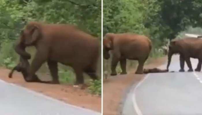 दिल छूने वाला VIDEO: बेबी एलिफेंट की मौत पर हाथियों ने निकाली शव यात्रा