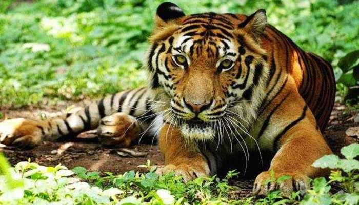 अलवर के सरिस्का अभ्यारण्य में बाघ की मौत, सवालों के घेरे में वन विभाग